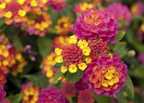 Interesting Facts About the Pretty Lantana Flowering Plants